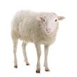 Leinwanddruck Bild - sheep isolated on white