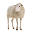 canvas print picture - sheep isolated on white