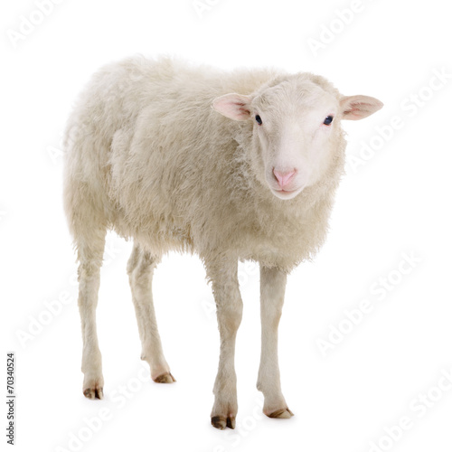 Deurstickers Schapen sheep isolated on white