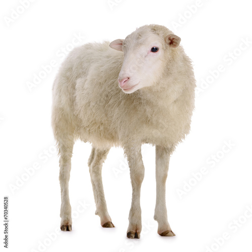 canvas print picture sheep isolated on white