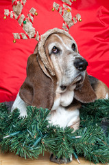 Basset Hound at Christmas