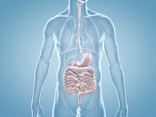 Magen-Darm-Trakt - anatomische 3D-Illustration