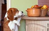 Fototapety beagle in kitchen