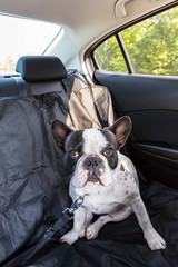 French bulldog traveling in the car