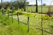 Vineyard in Italy.