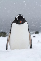 Gentoo penguin who stands in the snow when it snows