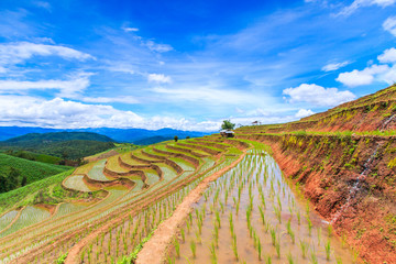 Paddy or rice field at Pa Pong Peang in Chiangmai, Thailand