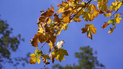 Yellow Oak Leaves on a Blue Sky - FullHD