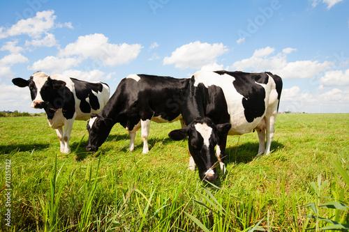 Fotobehang Koe Dutch cows