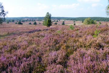 Lüneburger Heidelandschaft