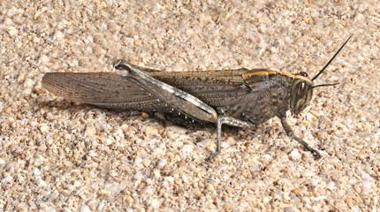 Grasshopper Anacridium aegyptium