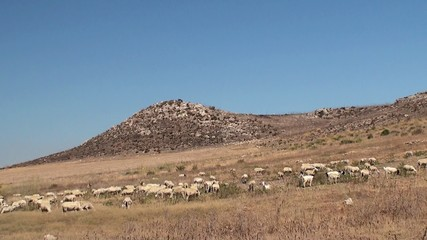 Herd of sheep on a mountain pasture. Sicily, Italy.