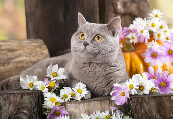 British cat in and flowers
