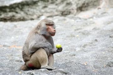 Baboon eating apple