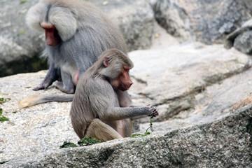 Baboon eating grass