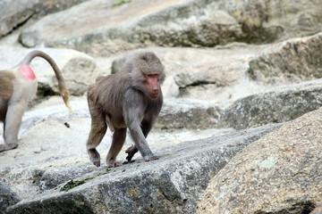 Baboon climbing rocks
