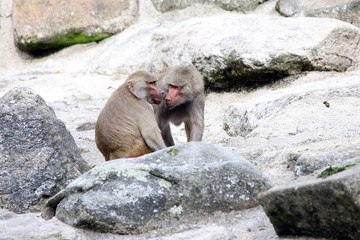 Baboons gossiping