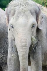 Elephant looking straight at camera