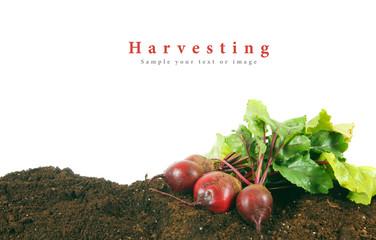 Harvesting. A fresh beet on earth.