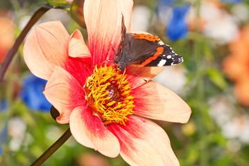 Großer Admiral auf Blüte in bunter Sommerwiese