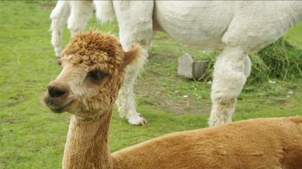Alpaca (Lama or vicugna pacos) calf.