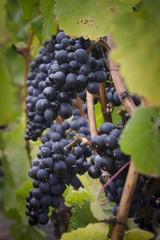 pinot noir grapes vignette