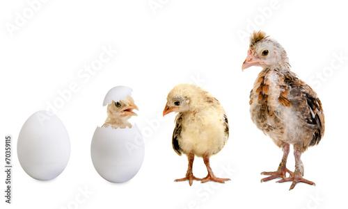 Plexiglas Kip egg