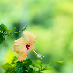 peach Hibiscus flower head on green blurred background, closeup