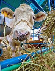 Simmental stud bull in barn
