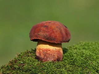Mushrooms and moss on green background, series