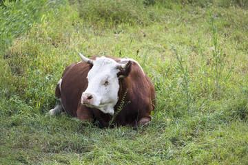 Mucca distesa sul prato