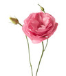 Pink flowers isolated on white. Eustoma