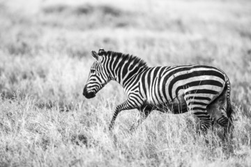 Running zebra at the great plains of Serengeti