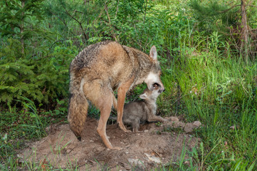 Adult Coyote (Canis latrans) Muzzle Grasps Pup