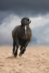 Black draught horse cantering free