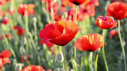 Red poppy on the field with green grass. Zoom out.