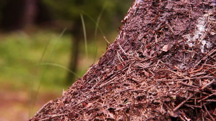 Teamwork footage: Ants colony in the forest