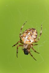 Cross orb weaver, Diadematus araneus with prey