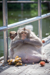 Life of fat monkey.( Long-tailed macaque )