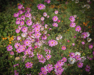 Pink flowers. Color toned image.