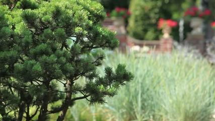 pine in the garden