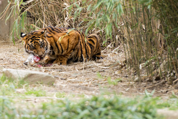 Tiger Eating and looking at you
