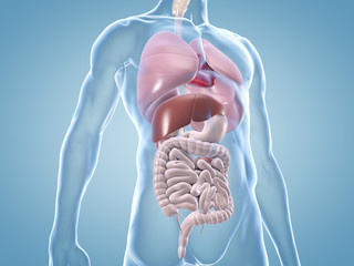 Innere Organe: anatomische 3D-Illustration