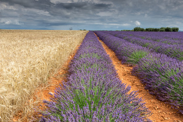 Spighe di grano e lavanda in fiore, Francia
