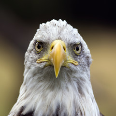 bald eagle - head