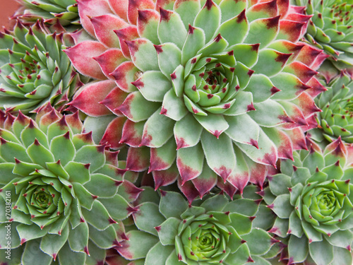 Fotobehang Cactus Sempervivum Hirtum plant and plantlets