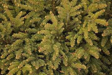 Branches of green fir tree. Background