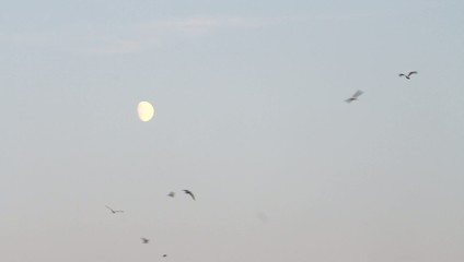 seagulls  a bird at night against the moon