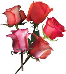 five dark orange roses on white