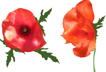 two bright poppy flowers isolated on white